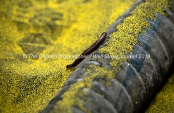 A deserrt millipede travels through a pile of frack sand spilled on the ground near a Cudd Energy fracking operation on a Fasken Oil and Ranch well May 22, 2018, in Midland, Texas. CREDIT: TheOilfieldPhotographer.com